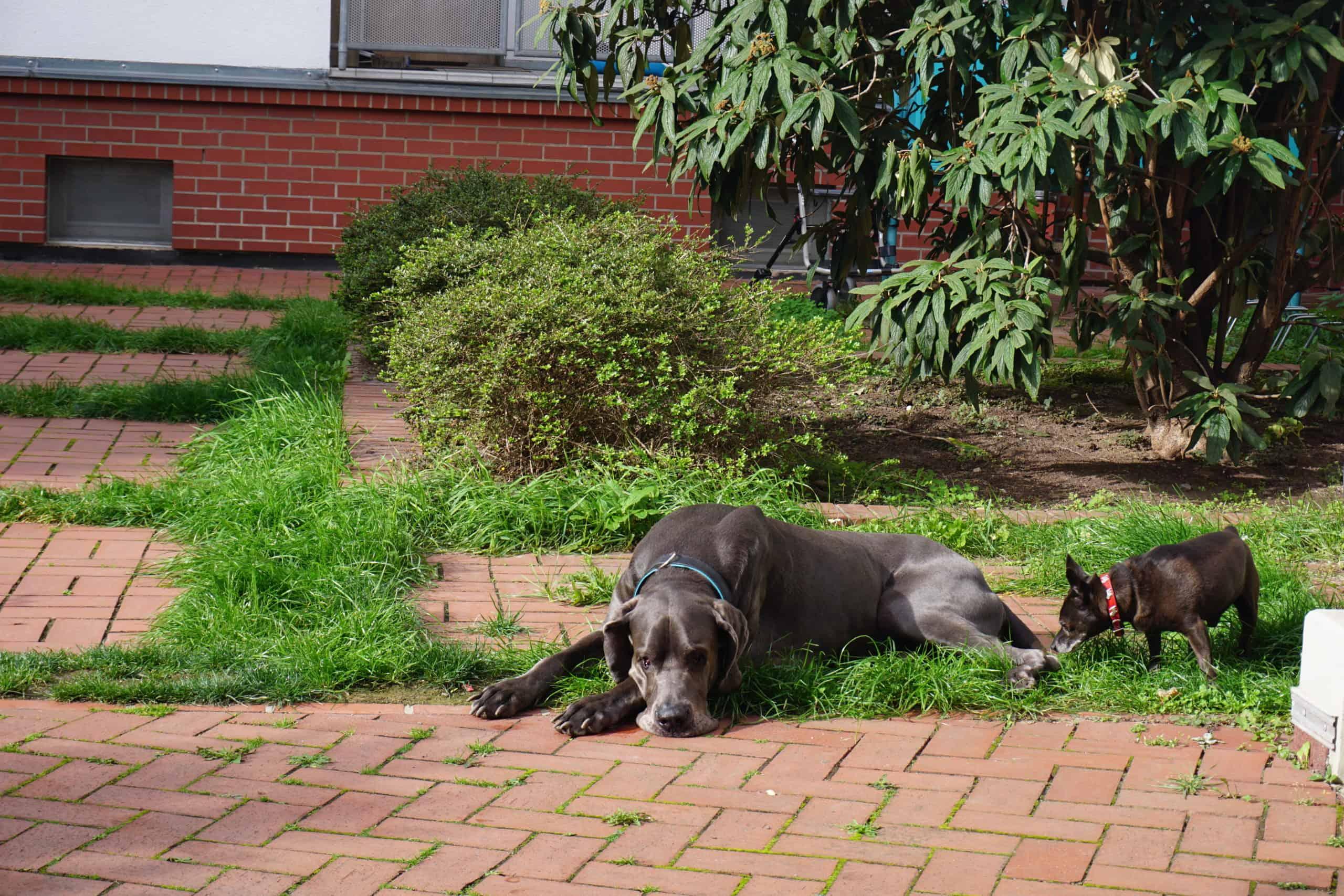 Tiergestütztes Coaching mit meiner deutschen Dogge (c) Silvia Füßl /safestata.de